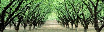 Hazel Nut Orchard Poster