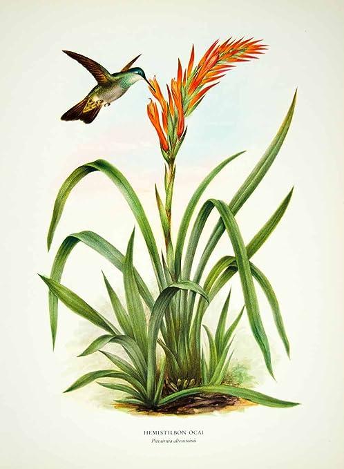 Montes de Oca Hummingbird with Bromelaid