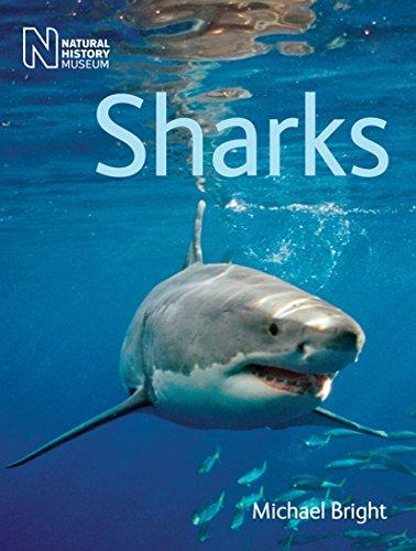 Sharks-Michael Bright