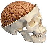 頭蓋,脳付,8分解モデル
