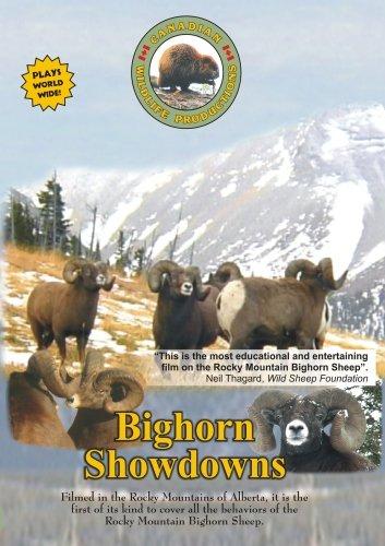 Bighorn Showdowns