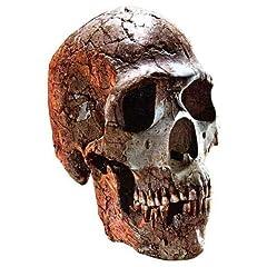 Ancient big skulls