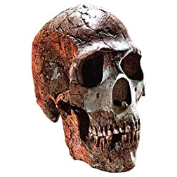 Ancient big skulls